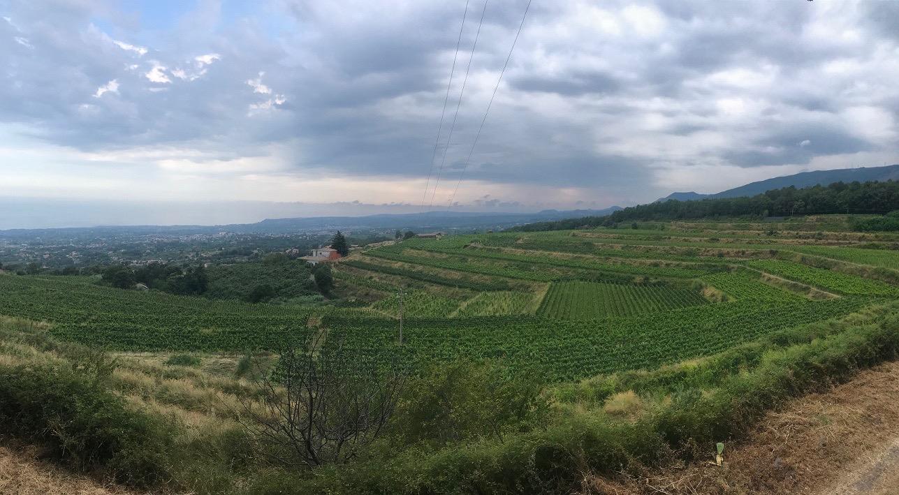 Alla scoperta del tè verde siciliano: la scommessa dell'azienda agricola Bellanti