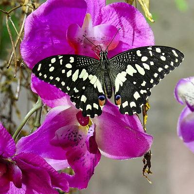 Un'ondata di farfalle in primavera a Siracusa